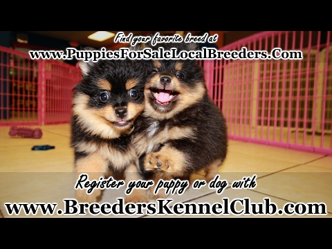 BLACK AND TAN POMERANIAN PUPPIES FOR SALE GEORGIA LOCAL BREEDERS