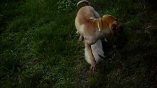 Golden Retriever Vs Sharpei
