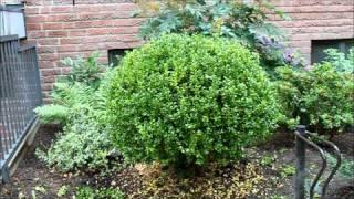 Buchsbaum aus freier Hand in Form schneiden - NewWonder555