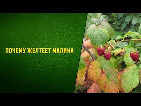 Почему желтеют листья малины Стеблевый и корневой рак!!! | пожелтение | стеблевой | петренко | корневой | садовый | наталья | листьев | желтеет | почему | малины