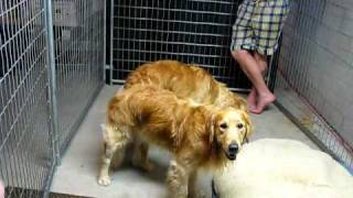 Golden Retrievers Breeding