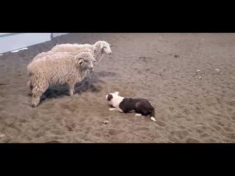 Herding Genetics Of A Border Collie