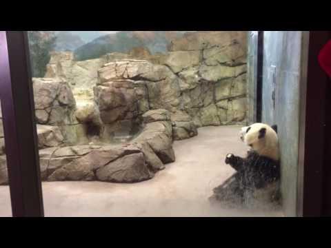Giant Panda cub Bei Bei returns to public display