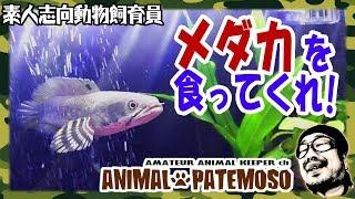 スネークヘッドにメダカを食わせる!【チャンナ・プルクラ】【熱帯魚】【アクアリウム】