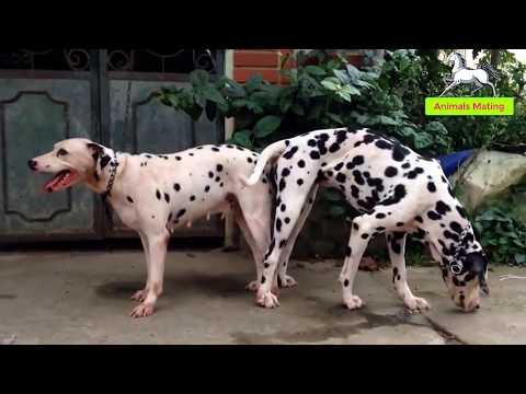 World Wildlife - Dog species mating season 1-- Full house