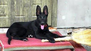 Рамзэс - Щенок Черной Немецкой овчарки 3 месяца. Ramzes - Puppy German Shepherd 3 months.