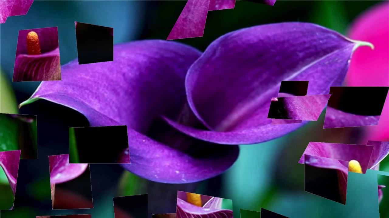Calla lilies flowers hd1080p youtube calla lilies flowers hd1080p izmirmasajfo