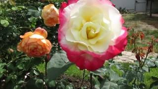 Дача. Цветут розы. Сорта и мои комментарии.(, 2017-08-03T00:35:39.000Z)