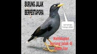 Burung jalak berpestapora di alam liar malaysia