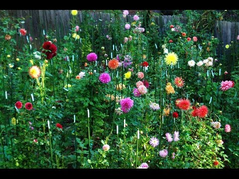 How To Grow Dahlias How To Care Of Dahlia Plant Hindi Urdu