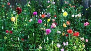 How to grow Dahlias || How to care of dahlia plant (hindi/urdu)