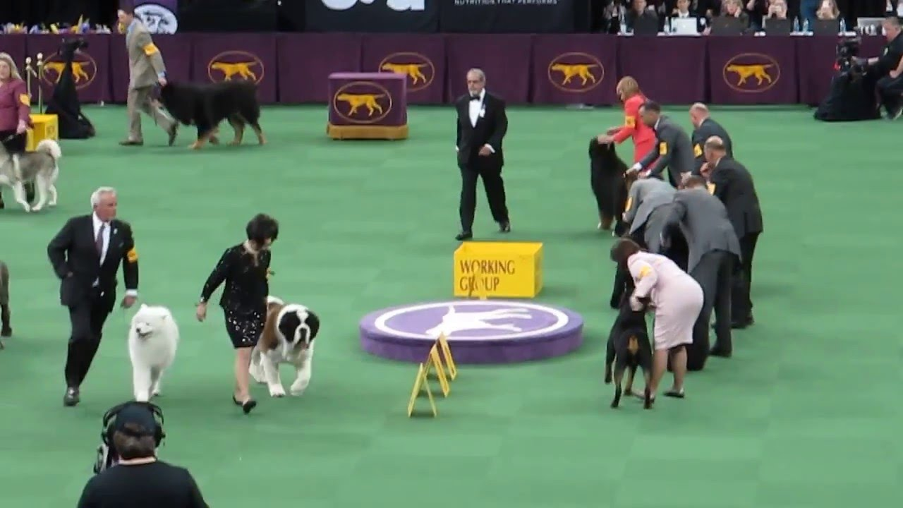 I bought a Champion Rottie Show dog from Breeder Network, should I show him?