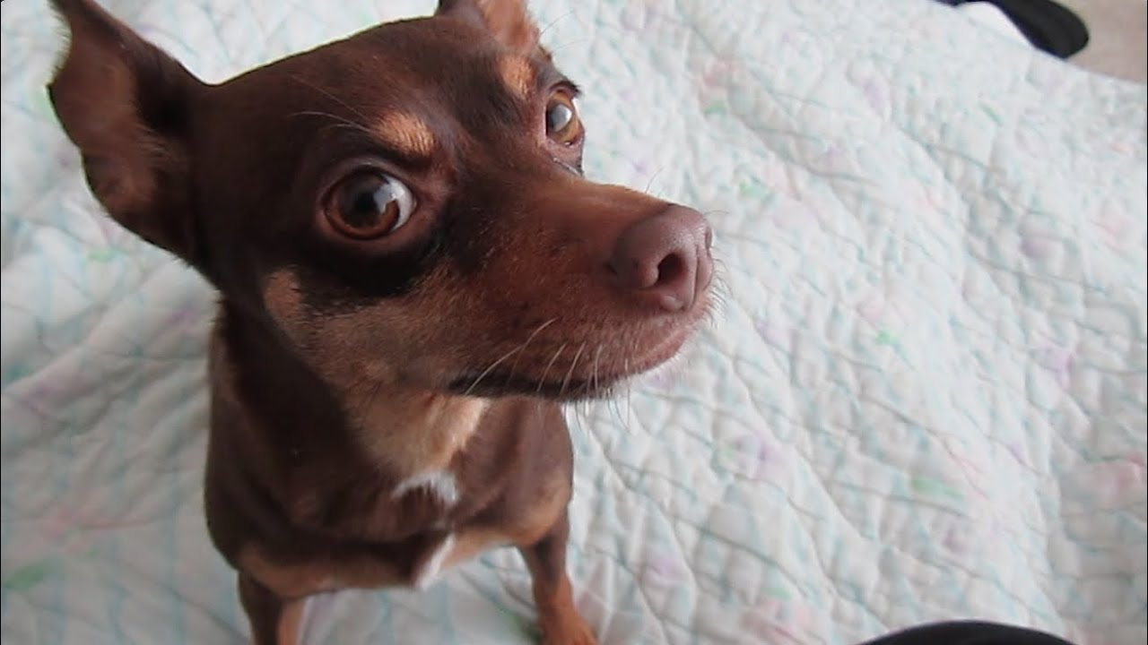 Cute Mini Pinscher Wants To Be Petted Youtube