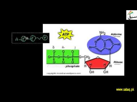 Role Of ATP As Energy Currency | Punjab/Federal Board Syllabus