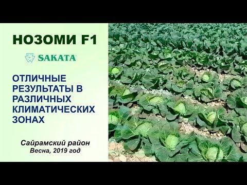 КАПУСТА НОЗОМИ F1 - ОТЛИЧНЫЕ РЕЗУЛЬТАТЫ В РАЗЛИЧНЫХ КЛИМАТИЧЕСКИХ ЗОНАХ | белокочанная | хранится | хранения | товарный | капусты | капуста | семена | саката | кочан | капус