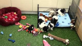 Little Rascals Uk Breeders New Litter Of 3/4 Shih-tzu Boys And Girls -  Puppies For Sale 2015