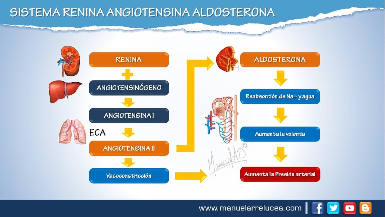 Sistema Renina Angiotensina Aldosterona Youtube
