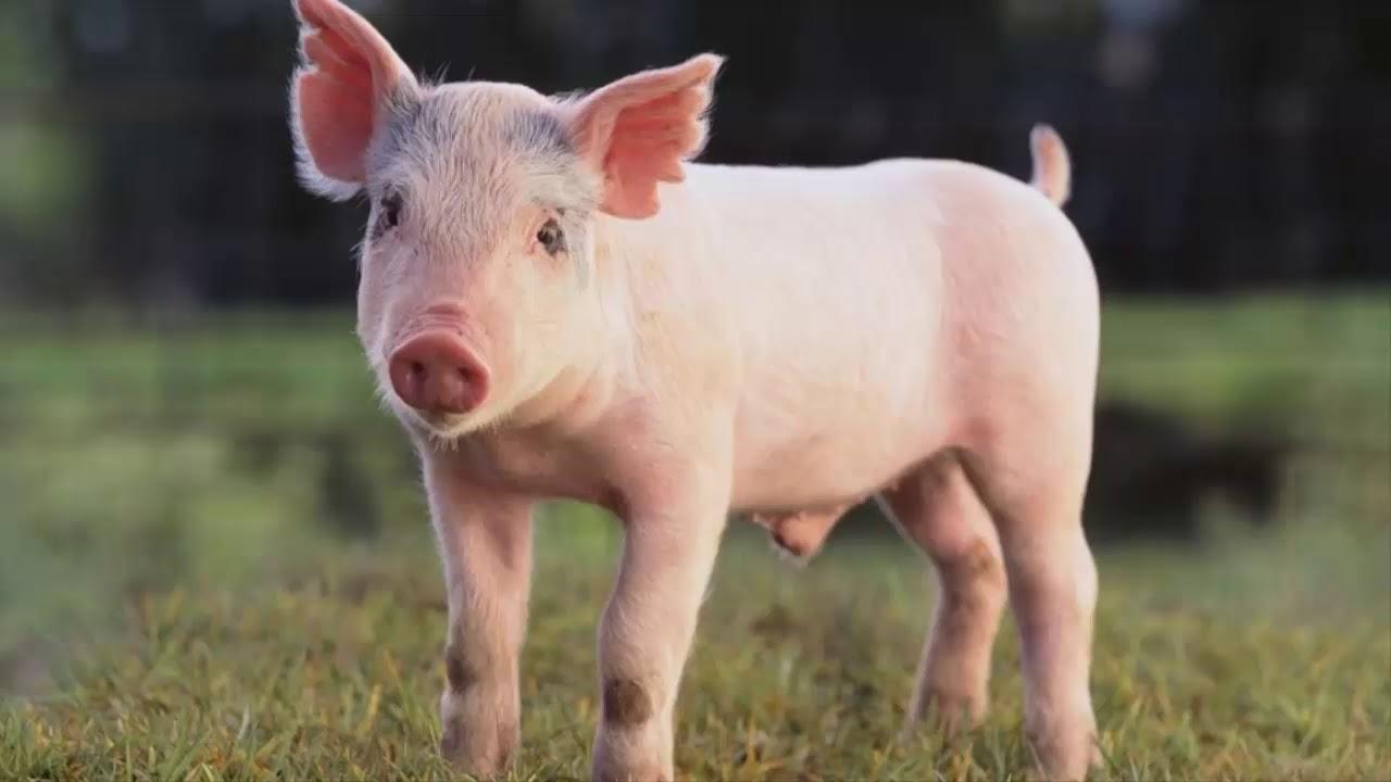 Funny Pig Sounds