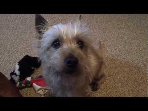 Denny Speaks!  Talking Cairn Terrier