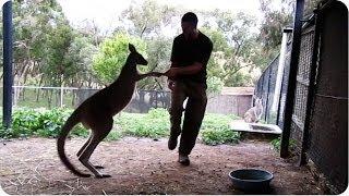 Kangaroo and Animal Trainer Spar   Cool Zoo Video