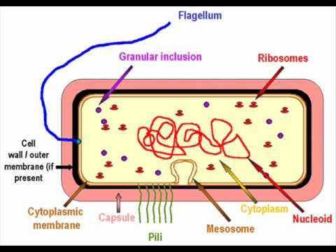 The bacterial cell health education infection control icsp the bacterial cell health education infection control icsp urdu hindi ccuart Choice Image