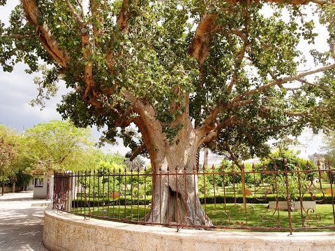 Zacchaeus' sycamore fig in Jericho ( Luke 19:1-10 - Zacchaeus the Tax Collector)