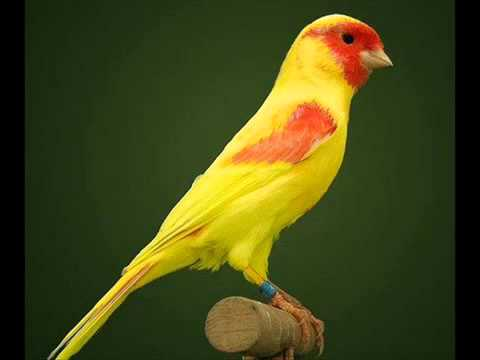 chant canari malinois mp3