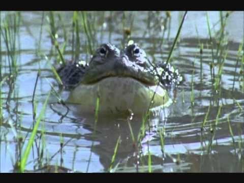 Самая большая лягушка в мире — интересные факты о лягушке Голиаф
