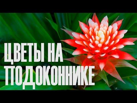 Комнатные цветы декабрист фото, болезни и уход за