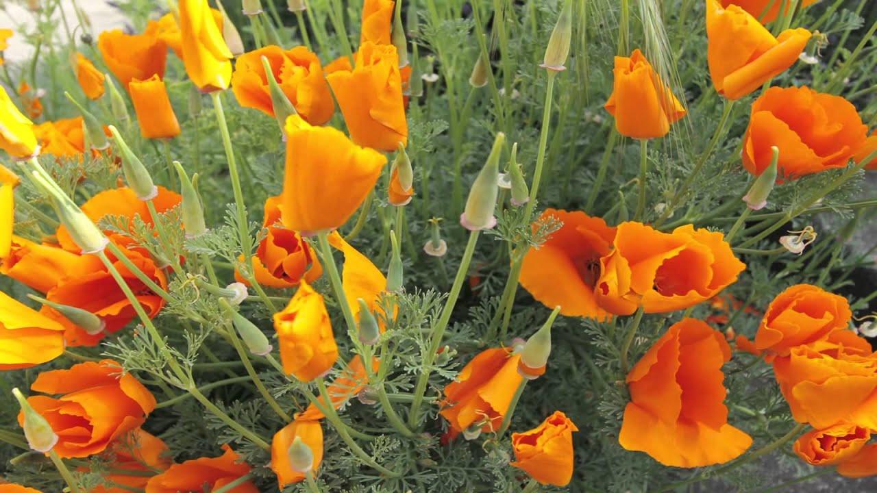Morning Time Lapse Of California Poppy Tea Pursuit Youtube