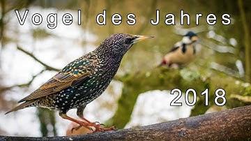Vogel des Jahres 2018. Der Star (Starendoku) | Gamander López