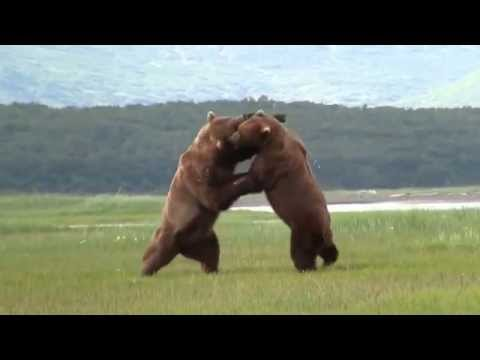 Битва медведей гризли