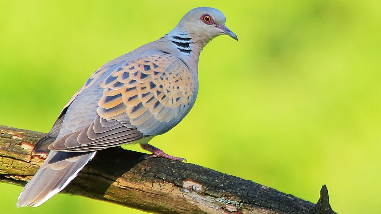 Turtle Dove  Birds in the spring