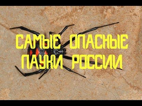 Вопрос: Как идентифицировать воронкового паука?
