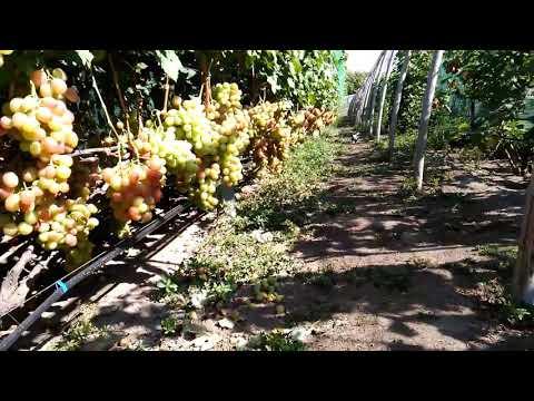 Сорт винограда Анюта.