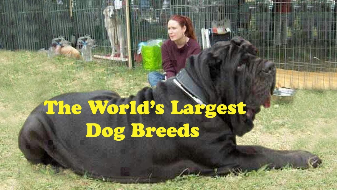 Top 10 biggest dog breeds top ten biggest dog breeds for What are the best dogs in the world