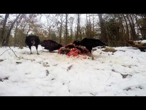 Turkey buzzard & Black buzzards feeding on deer carcass Gopro Hero 3+