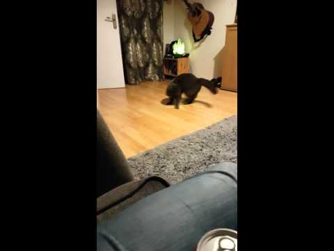 Gizmo the cat chases his tail