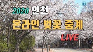 2020 인천 온라인 벚꽃 중계