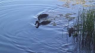 Уточка и утята на воде Белкино 2019 Обнинск