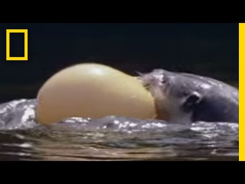 Self Inflating Fish | Freaks Of Nature