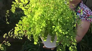 Avenca – Como plantar e como fazer mudas