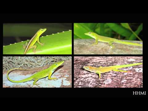 Building a Phylogenetic Tree: A Story of Lizards — HHMI BioInteractive Video