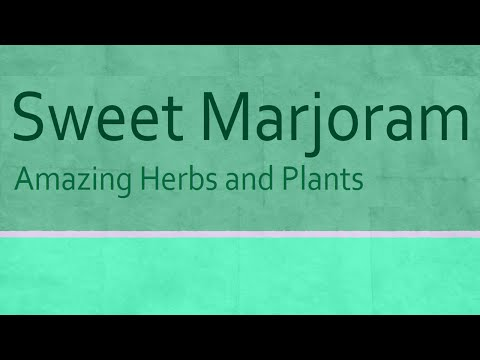 Sweet Marjoram Health Benefits Health Benefits of Sweet Marjoram Amazing Herbs