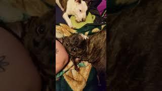 My dogs sound like Chewbacca orrraww rawww orawwww