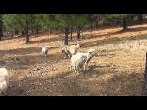 Sarplaninec Livestock Guardian Dogs bonding with Angora Goat charges