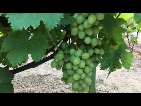 ГФ Дарья на 08.08.2020 Виноград гигант с мускатом .