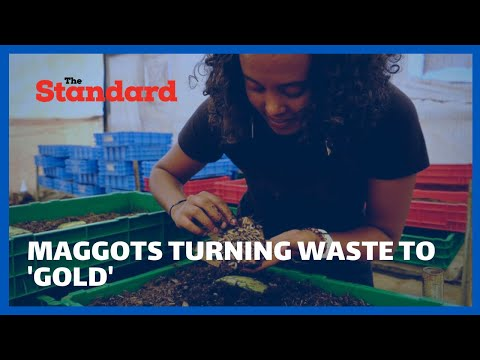 Maggots turning waste to 'gold' - Kenyan harnesses fly larvae's appetite to process food waste