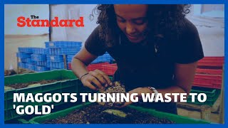Maggots turning waste to \'gold\' - Kenyan harnesses fly larvae\'s appetite to process food waste