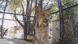 North American Bobcat and Canadian Lynx